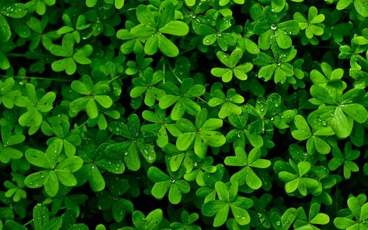 Обои Зеленые листья в каплях воды