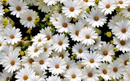 Обои Поляна нежно-белых цветов диморфотек