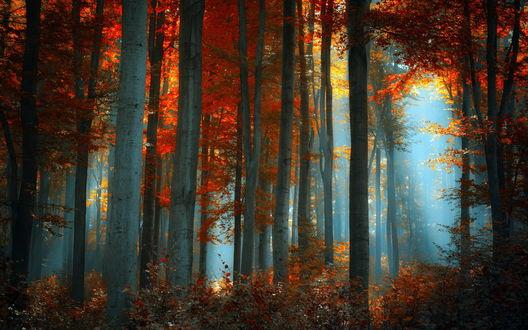 Обои Осенний лес с золотой листвой, фотограф Ildiko Neer
