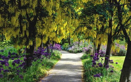 Обои Аккуратная дорожка, покрытая дресвой, проходящая по парку со стоящими на ее обочинах деревьями с цветущей желтой глицинией и фиолетовыми цветами аллиума