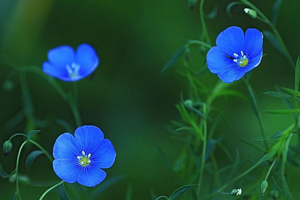 Фото красивые синие цветы