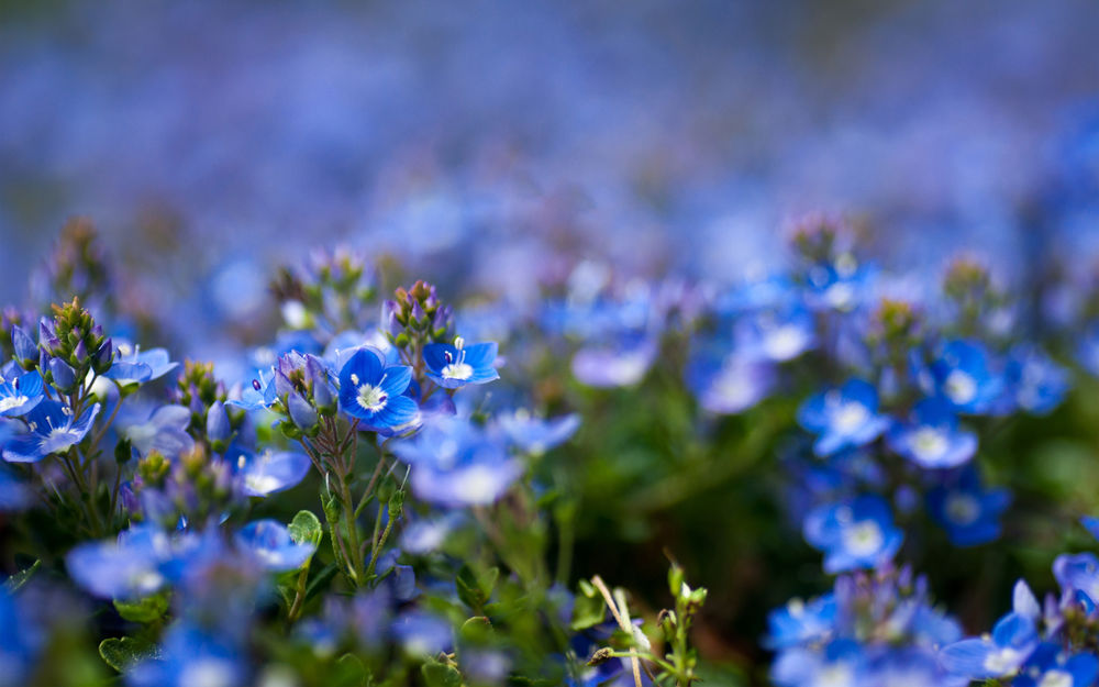 Полевой цветок голубой