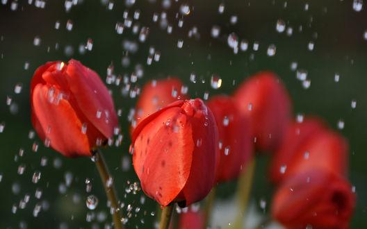 Обои Красные тюльпаны под дождем