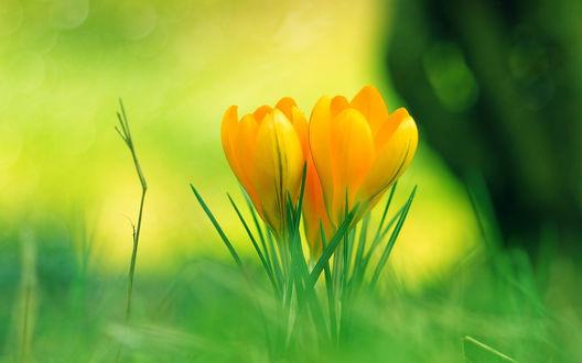 Обои Цветущие желтые крокусы