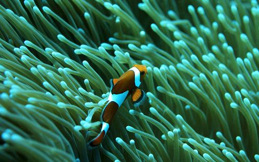 Обои Маленькая рыбка клоун плавает в щупальцах актинии