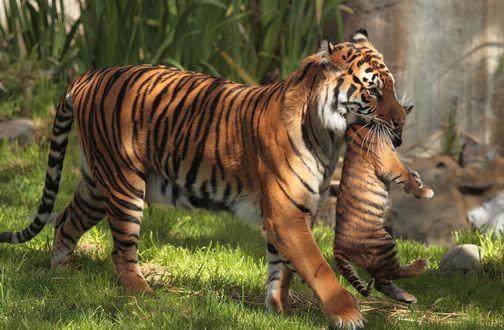 Обои Тигрица несет детеныша в пасте