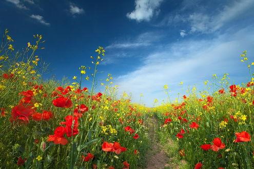 Обои Тропинка, проходящая через поле с алыми маками и желтыми цветами сурепки на фоне голубого неба и белых облаков