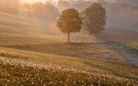 Обои Поле пушистых одуванчиков залитых солнечным светом в утреннем тумане