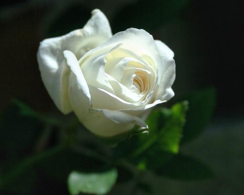 Обои белая роза на темном фоне