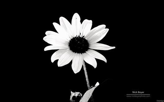 Обои Черно- белая маргаритка, автор Nick Boyer