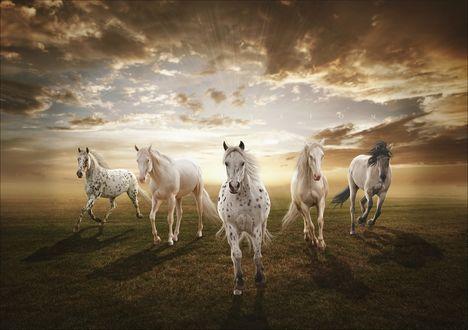 Обои Пять лошадей бегут по полю на фоне захода солнца