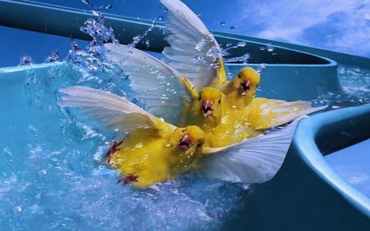 Обои Три лимонные птицы спускаются с водяной горки