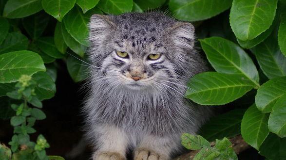 Обои Зверек манул (палласовый кот), сидящий на ветке дерева среди ярко-зеленых листьев