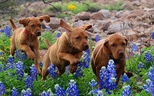 Обои Три щенка венгерской выжелье, бегущие через поле с техасскими люпинами, штат Техас, США / Texas, USA