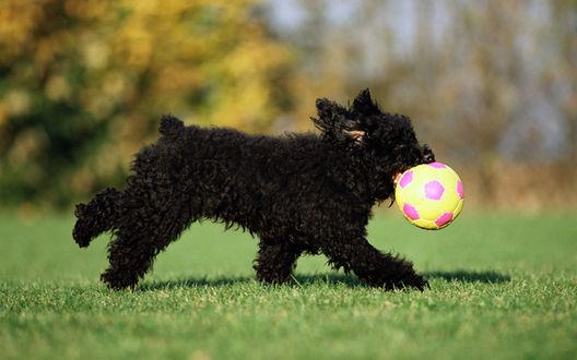 Обои Черный терьер, играющий с разноцветным мячиком на зеленой лужайке