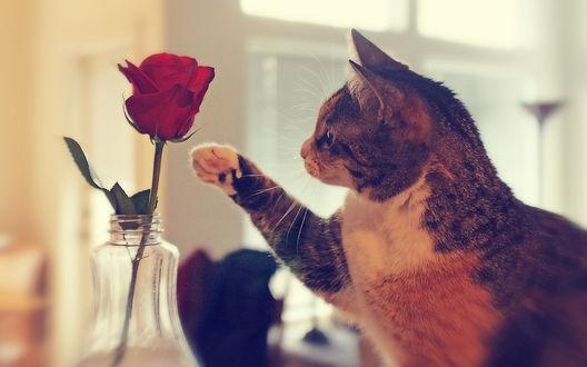 Обои Милый кот смотрит и тянется лапкой к розе, стоящей в вазе