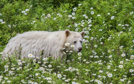 Обои Истощавший белый медведь, идущий по зеленой лужайке с растущими на ней кустами и ромашками