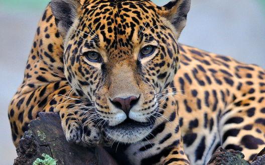 Обои Лежащий на камнях красивый леопард