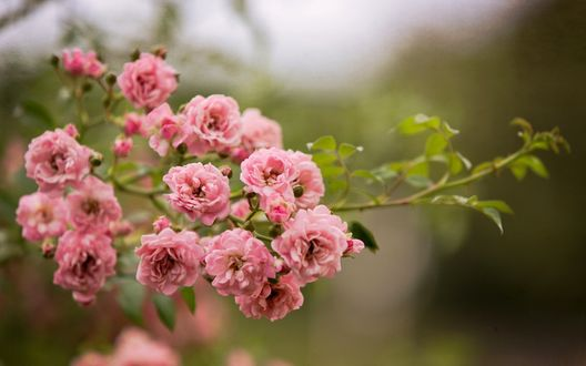 Обои Ветка куста розовых роз