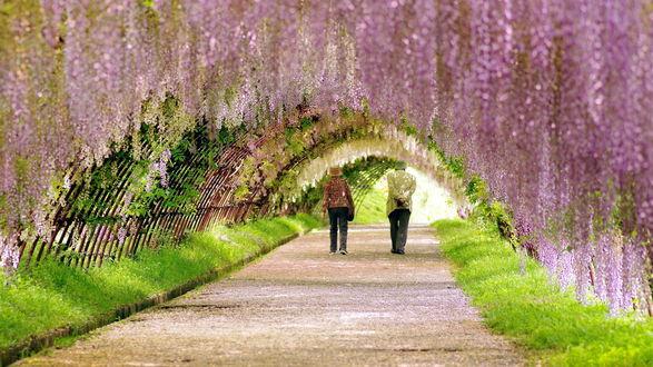 Обои Пожилая супружеская пара, прогуливающаяся по дорожке из гравия в окружении деревьев с цветущей глицинией, образующих полукруглый шатер из веток с цветами над аллеей, Национальный парк, Токио, Япония / Tokyo, Japan