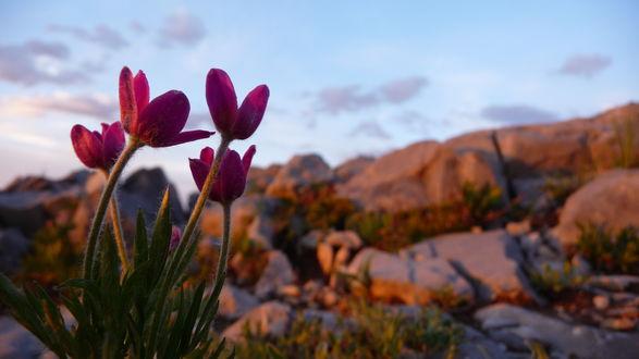 Обои Фиолетовые цветы растут на скалах