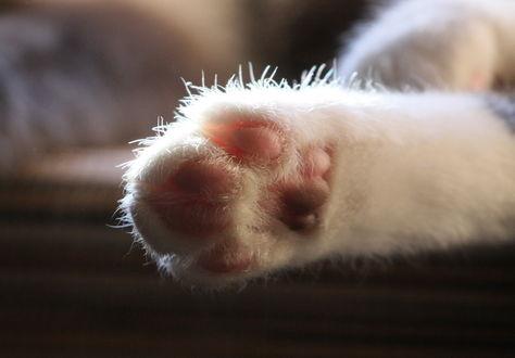 Обои Пушистая лапа белой кошки