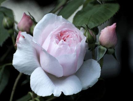 Обои Нежная розовая роза, фотограф Russell Tomlin