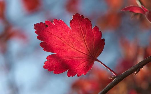 Обои Багровый осенний лист на ветке