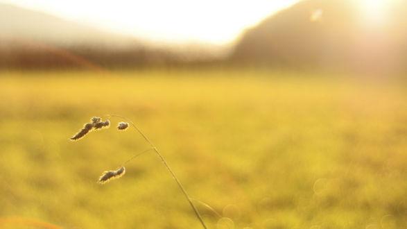 Обои Тонкий колосок травы на фоне желтого поля