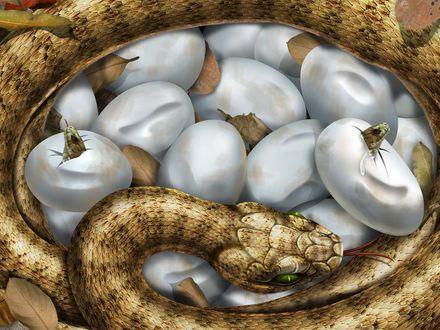 Обои Змея обвила свою кладку, из двух яиц вылупляются детеныши