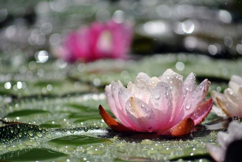 Обои Цветок розовой лилии среди кувшинок и в каплях дождевой воды