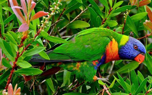 Обои Красивый попугай породы многоцветный лорикет, сидящий среди ярко-зеленых и красных листьев на ветках дерева
