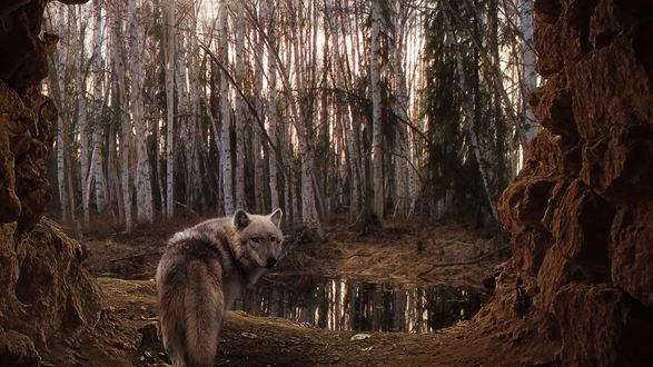 Обои Серый волк, выходящий через арку из скальных пород, приближается к небольшому лесному водоему, расположенному на опушке березовой рощи