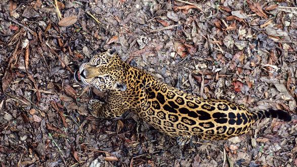 Обои Леопард, вид сверху