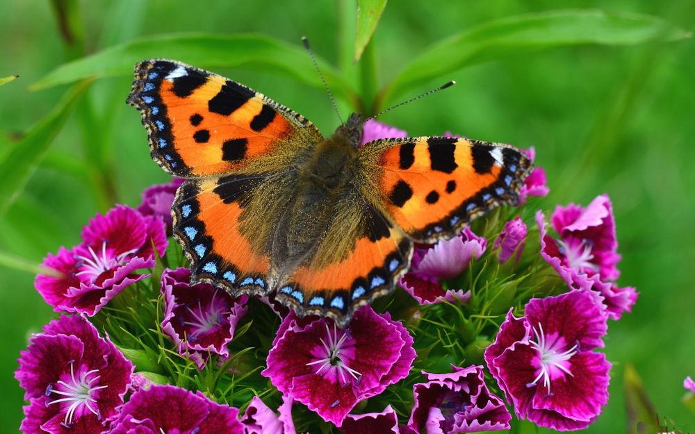 Обои Бабочка-репейница, сидящая на цветах розовой гвоздики на ...
