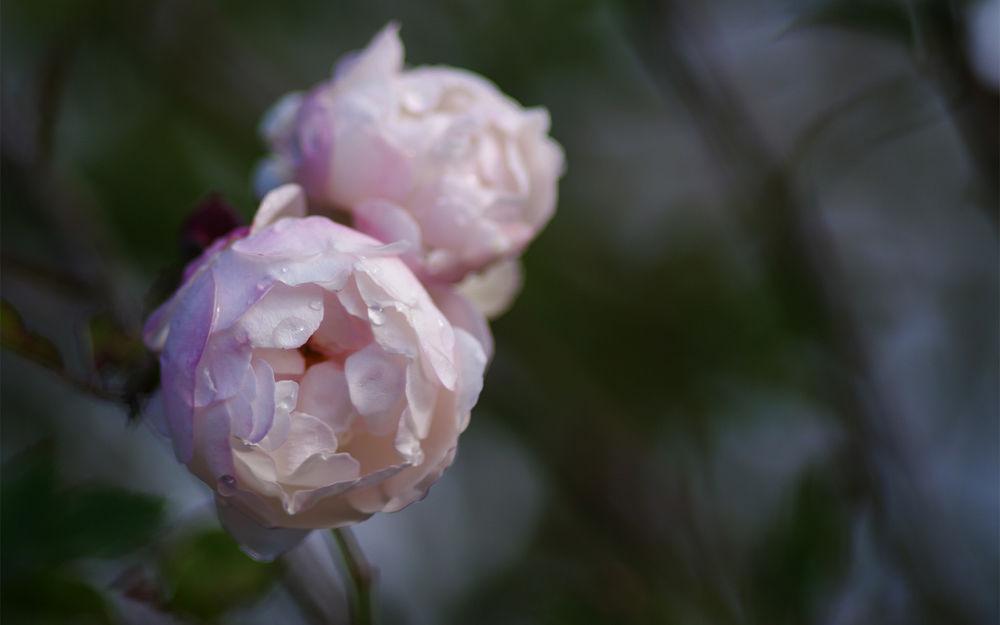 Обои для рабочего стола Розовые розы на в капельках росы