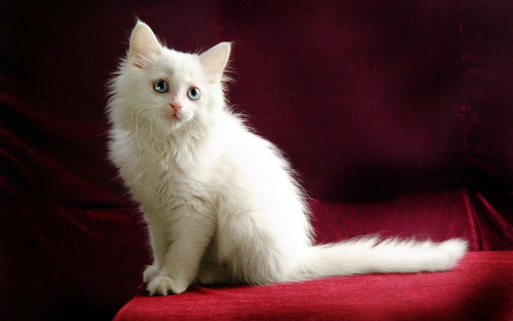 Картинки на рабочий стол кошек белых, юбилеем