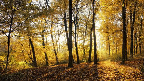 Обои Желтый осенний лес в солнечных лучах