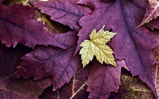 Обои Желтый кленовый листок лежит сверху на сиреневых кленовых листьях