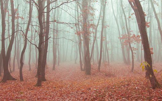 Обои Осенний лес в густом тумане