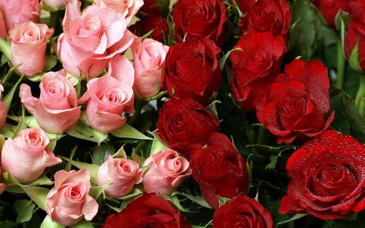 Обои Розовые и красные розы в каплях воды