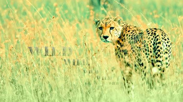 Обои Леопард в траве (Wild / Дикий)