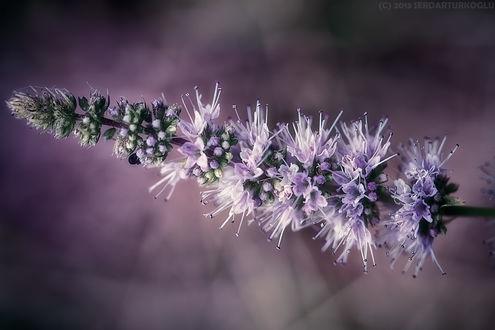 Обои Длинный сиреневый цветок крупным планом, автор serdar