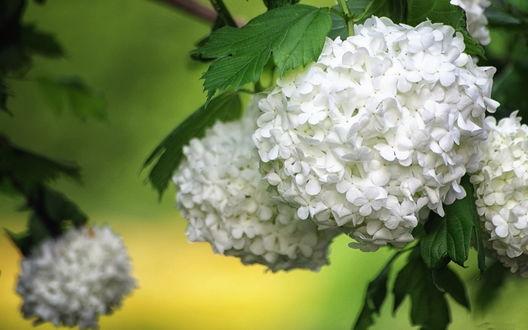 Обои Соцветие белой гортензии среди ярко-зеленых листьев