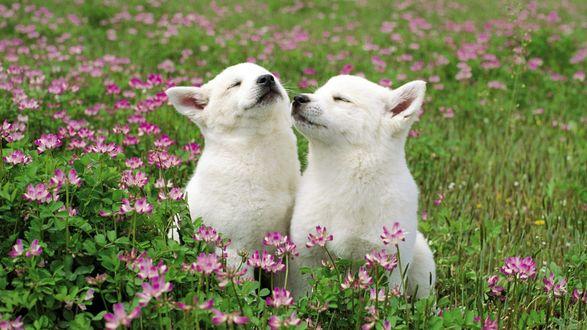 Обои Две белые собаки на траве среди розовых цветов