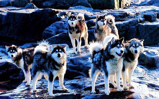 Обои Стая собак хаски, стоящая на обледенелых камнях, покрытых снегом