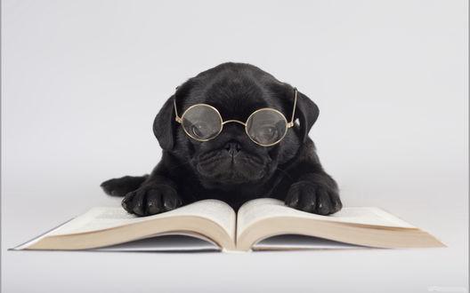 Обои Мопс в круглых очках в металлической оправе, положил передние лапы на открытые страницы книги