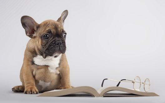 Обои Бульдог, сидящий возле открытой книги, с лежащими на ней очками на белом фоне