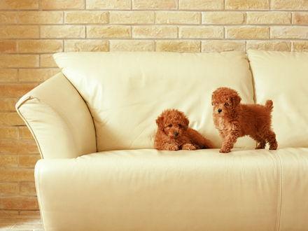 Обои Две рыжие собаки на светлом кожаном диване на фоне кирпичной стены