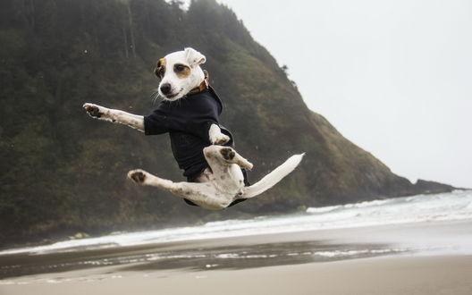 Обои Собака породы Джек Рассел терьер в акробатическом прыжке на песчаном пляже морского берега